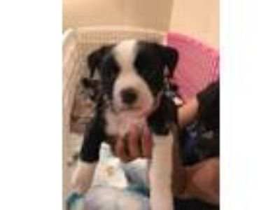 Adopt Amy Winn Spaces a Black - with White Border Collie / Terrier (Unknown