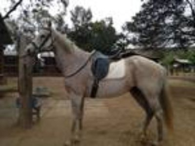 Sweet Registered Thoroughbred Mare