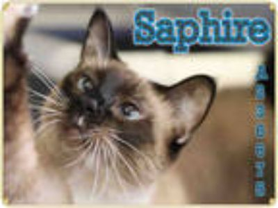Adopt SAPHIRE a Brown or Chocolate (Mostly) Siamese / Mixed (short coat) cat in