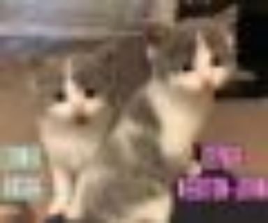 Olivia Newton John & Lionel Richie (Bonded) Domestic Short Hair - American Shorthair Cat