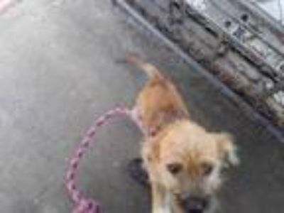 Adopt 42033716 a Tan/Yellow/Fawn Terrier (Unknown Type, Small) / Mixed dog in