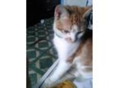 Adopt Panda a Orange or Red Tabby American Shorthair cat in Brockton