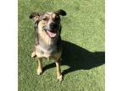 Adopt Maisy a Australian Cattle Dog / Blue Heeler