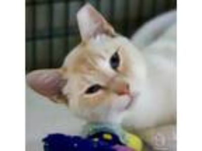 Adopt Laurence a Domestic Short Hair