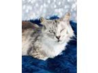 Adopt Zimba a Maine Coon, Domestic Long Hair