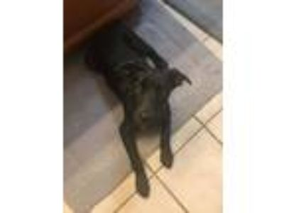"Adopt Violet "" Lab Mix Puppy Black Female "" a Staffordshire Bull Terrier"