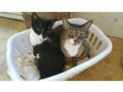 Adopt George (CL) a Black & White or Tuxedo Domestic Shorthair / Mixed (short