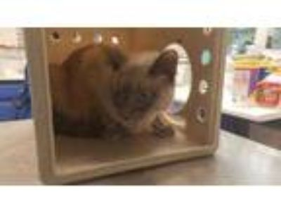 Adopt Mitch a Cream or Ivory Siamese / Domestic Shorthair / Mixed cat in