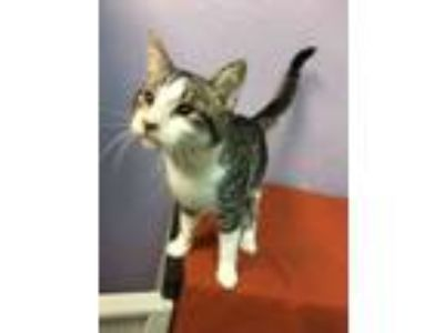Adopt Ouija a Domestic Short Hair