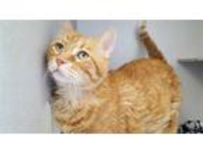 Adopt CLYDE a Orange or Red Tabby Domestic Shorthair / Mixed (short coat) cat in
