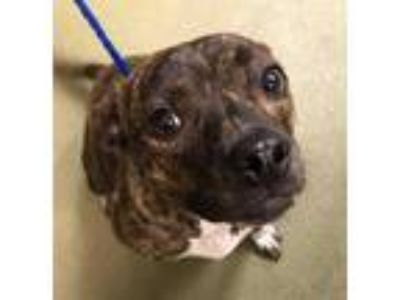 Adopt PEPPER a Brindle American Pit Bull Terrier / Mixed dog in San Antonio