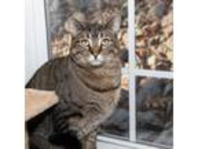 Adopt Chicago a Gray or Blue Domestic Shorthair / Domestic Shorthair / Mixed cat