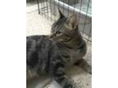 Adopt Izzy a Gray or Blue (Mostly) American Shorthair (short coat) cat in Mesa