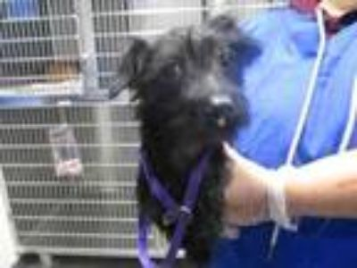 Adopt Shagster a Black Shih Tzu / Terrier (Unknown Type, Small) / Mixed dog in