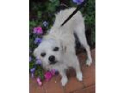 Adopt June a White Terrier (Unknown Type, Small) / Mixed dog in Atlanta