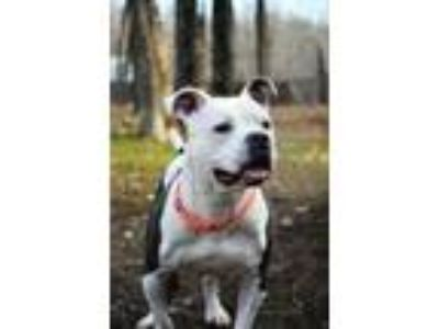 Adopt TACO a American Staffordshire Terrier, Pit Bull Terrier