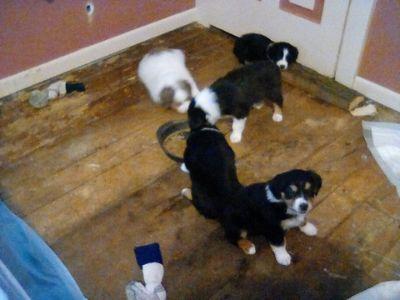 Australian Shepherd PUPPY FOR SALE ADN-122654 - Black tri red tri for sale