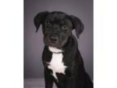 Adopt Mitch a Black - with White Labrador Retriever / Mixed dog in Evergreen