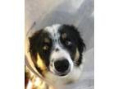 Adopt Wiley a Black Border Collie / Mixed dog in Tampa, FL (25282085)