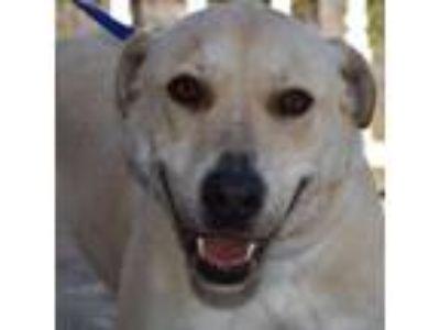 Adopt Marquis a Labrador Retriever