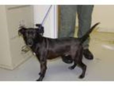 Adopt Moe a Black Shepherd (Unknown Type) / Labrador Retriever dog in Olive