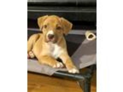 Adopt Faron a Tan/Yellow/Fawn Pit Bull Terrier / Hound (Unknown Type) / Mixed