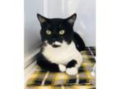 Adopt Billy Ray a Domestic Short Hair