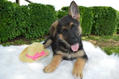 German Shepherd Dog PUPPY FOR SALE ADN-78798 - Candy