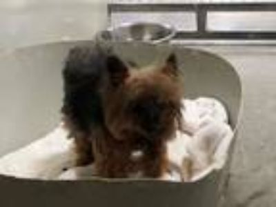 Adopt MIKEY a Yorkshire Terrier, Silky Terrier