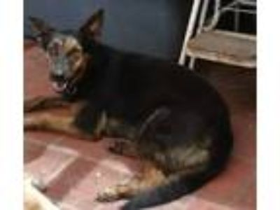 Adopt Lilly a German Shepherd Dog