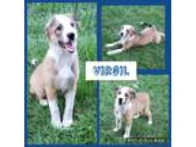 Adopt Virgil a Brown/Chocolate - with White Australian Shepherd / Great Pyrenees