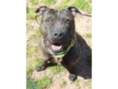 Adopt Lilly a Black American Pit Bull Terrier / Mixed dog in Spring City