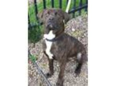 Adopt Bowser a Mastiff, Pit Bull Terrier