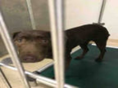 Adopt ADISON a Brown/Chocolate Labrador Retriever / Mixed dog in Olivette