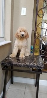 Goldendoodle PUPPY FOR SALE ADN-94848 - Goldendoodle 2 Gen