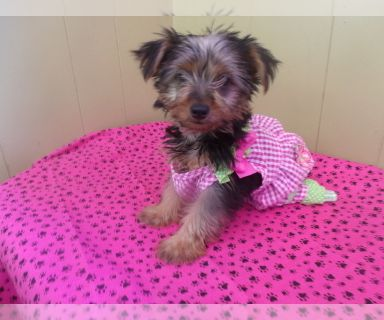 Yorkshire Terrier PUPPY FOR SALE ADN-131415 - Diva the Yorkie