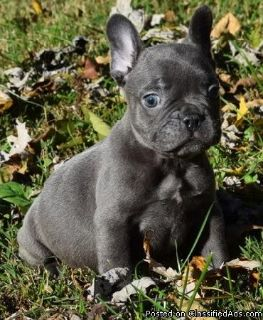 Akc registered French Bulldog puppies To Good Homes.