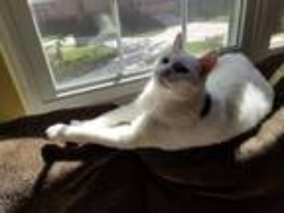 Adopt Magic a White (Mostly) American Shorthair cat in Vernon Hills