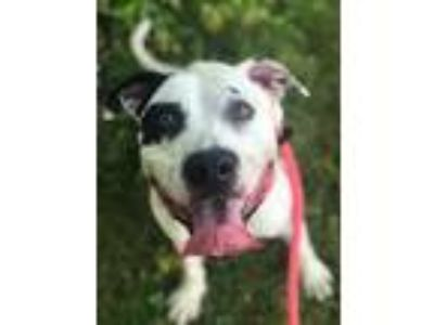 Adopt Charlie a White American Pit Bull Terrier / Mixed dog in Philadelphia