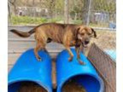 Adopt Cujo a Labrador Retriever, Plott Hound