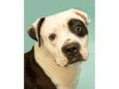 Adopt Bones a Black - with White American Pit Bull Terrier / Mixed Breed