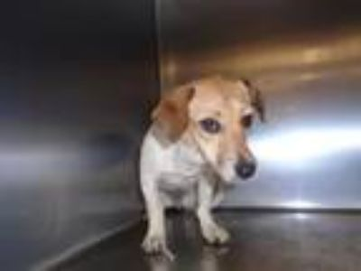 Adopt Dog a Parson Russell Terrier, Mixed Breed