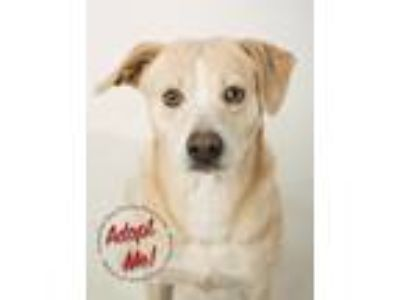 Adopt Winston a White - with Tan, Yellow or Fawn Labrador Retriever / Mixed dog