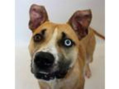Adopt Cobi a Pit Bull Terrier / Shepherd (Unknown Type) / Mixed dog in Detroit