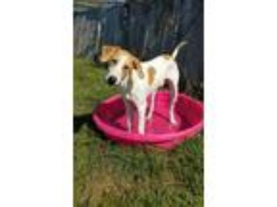 Adopt Stray, N Lisa Ter-Dunn a White Hound (Unknown Type) / Mixed dog in