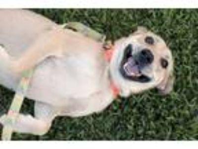 Adopt April a Labrador Retriever / Labrador Retriever / Mixed dog in Raleigh