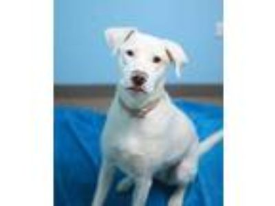 Adopt Reba a White Labrador Retriever / Mixed dog in South Elgin, IL (25589640)