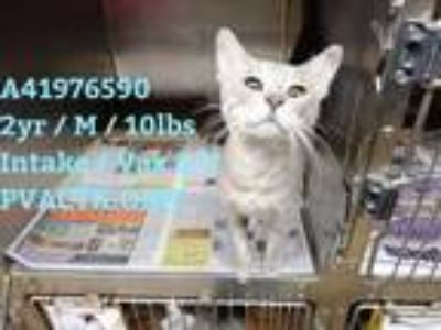 Adopt 41976590 a Gray or Blue Domestic Shorthair / Domestic Shorthair / Mixed
