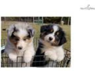 AKC/~Tri Colors~ Genetic Health Tested Parents~