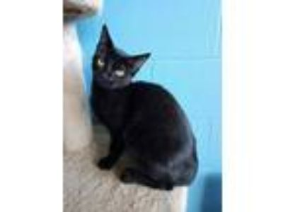 Adopt Mr. Binx a Domestic Shorthair / Mixed (short coat) cat in Boston